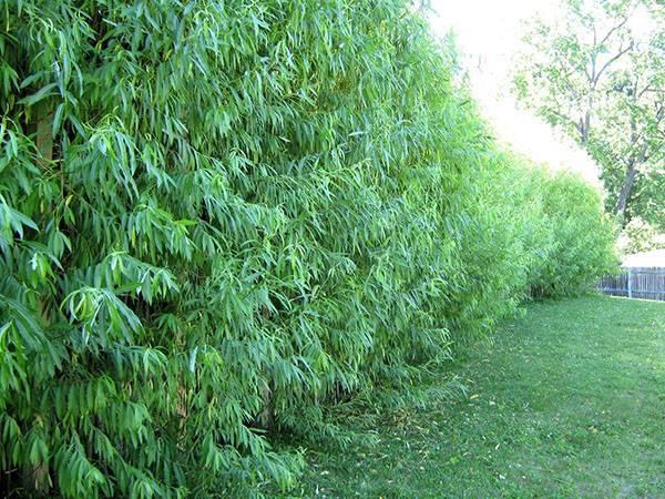 В каком уходе нуждается живая изгородь из ивовых прутьев