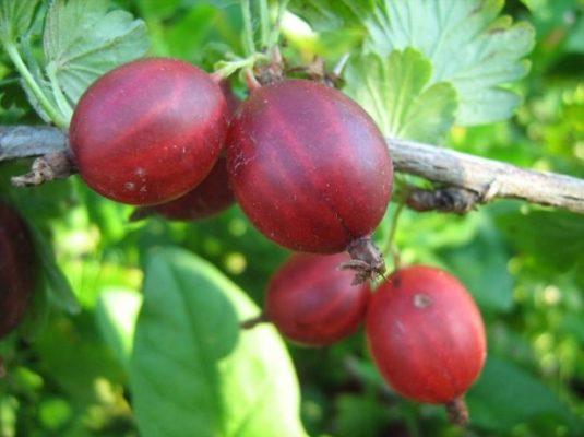 Лучшие урожайные сорта крыжовника без шипов