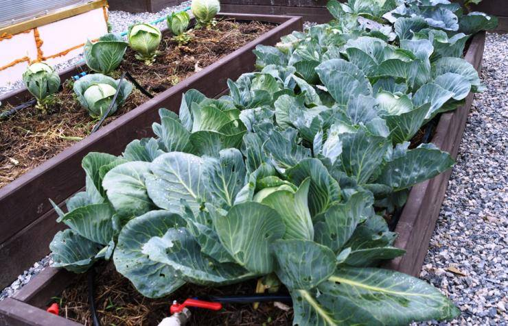 Белокочанная капуста: выращивание рассады из семян