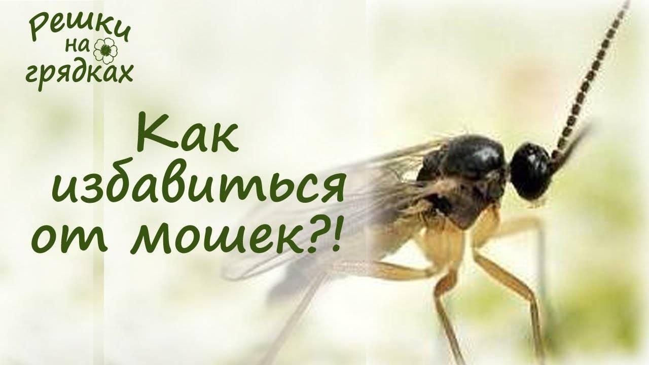 Черные мошки на помидорах: лучшие народные средства для борьбы с насекомым