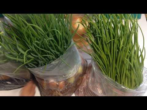 Технология выгонки лука на перо в теплице, на гидропонике и опилках