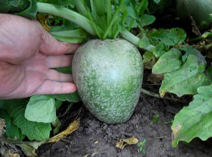 Когда и как сажать редьку семенами в открытый грунт или в теплицах? практические рекомендации по посеву