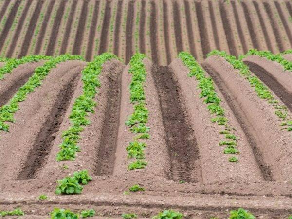 Эффективные и нестандартные способы выращивания картофеля