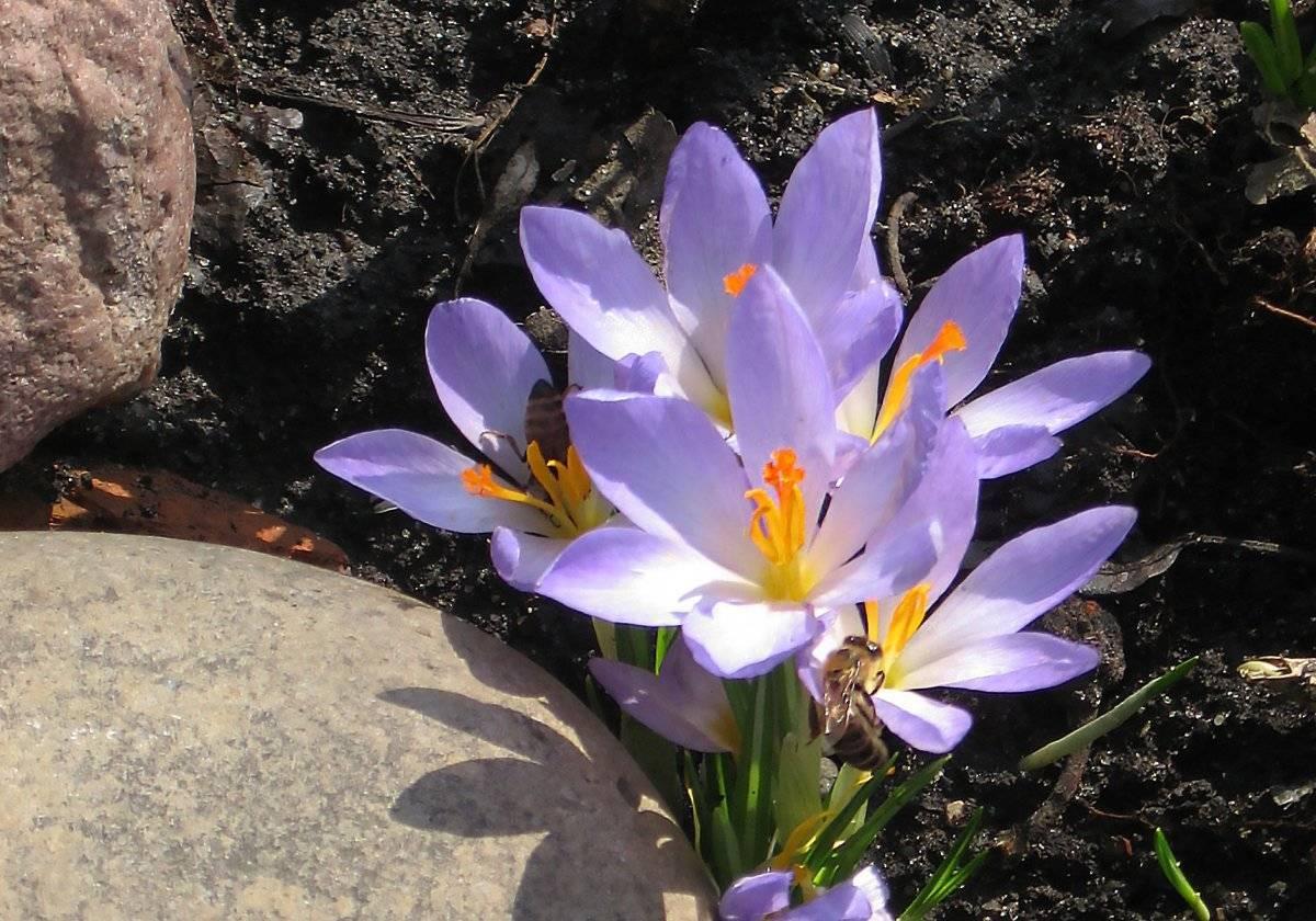 Выращивание крокусов - цветущий ковер на участке, видео