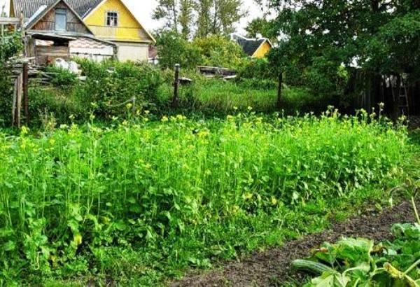 Сидераты для картофеля весной и осенью. какие сидераты можно использовать для картофеля. рожь по горчице