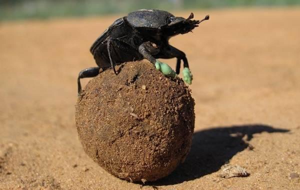 Жук скарабей — значение талисмана и его возможности