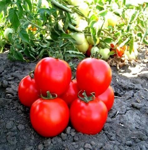 Томат марьина роща: 7 особенностей и 12 советов по выращиванию и уходу