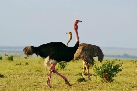 Разведение страусов в домашних условиях — подробная инструкция и полезные советы