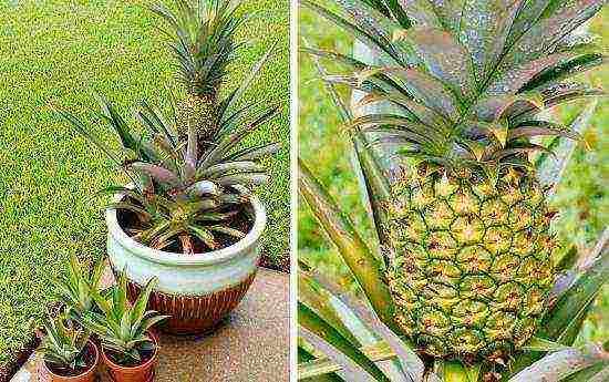 Как растут ананасы на плантациях, в теплицах и домашних условиях