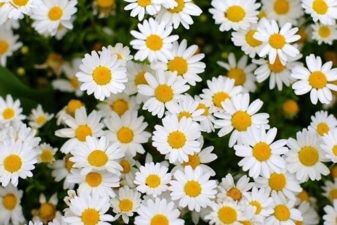 Цветок ранункулюс лютик фото: выращивание и уход, посадка и размножение едкого, виды и названия