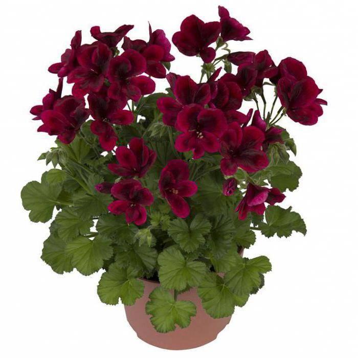 Как вырастить пеларгонию королевскую? знакомьтесь с принципами ухода в домашних условиях и фото цветка