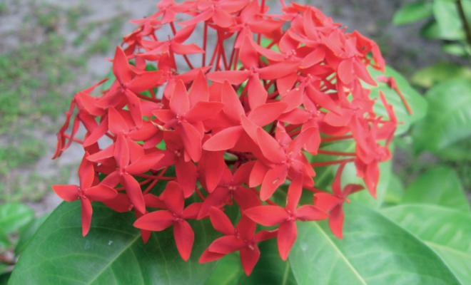 Иксора: выращиваем дома очаровательный цветок