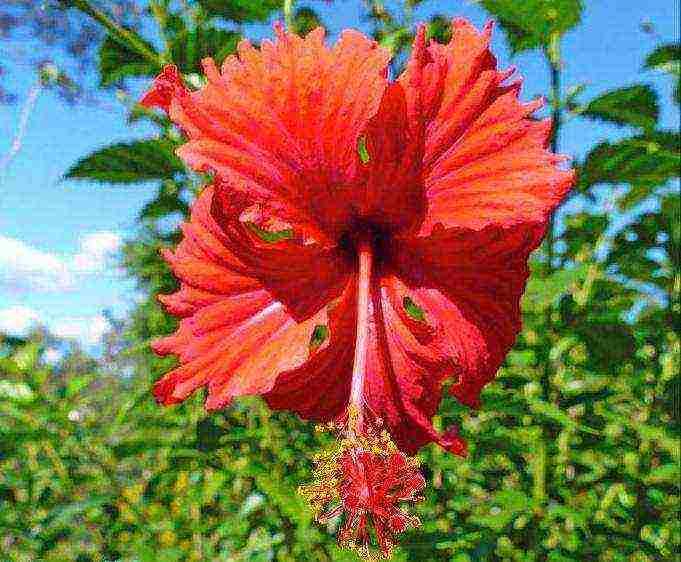 Гибискус травянистый: особенности и рекомендации по посадке