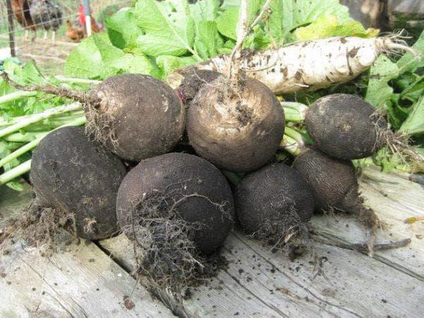 Редька черная и маргеланская - посадка и уход, условия выращивания
