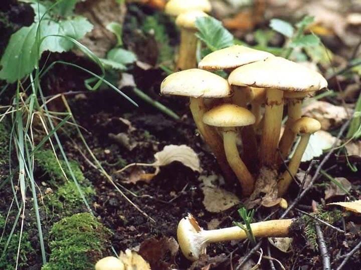 Как отличить съедобный опёнок от ложного: описание грибов