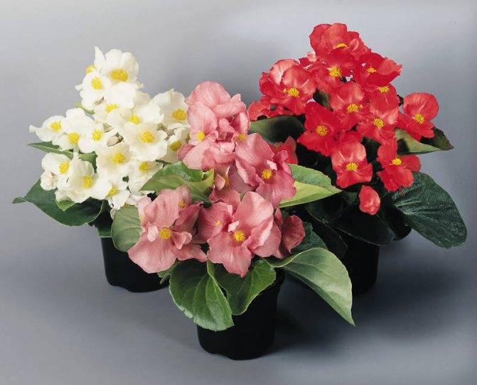 Бегония вечноцветущая: уход и размножение в домашних условиях, распространенные сорта.