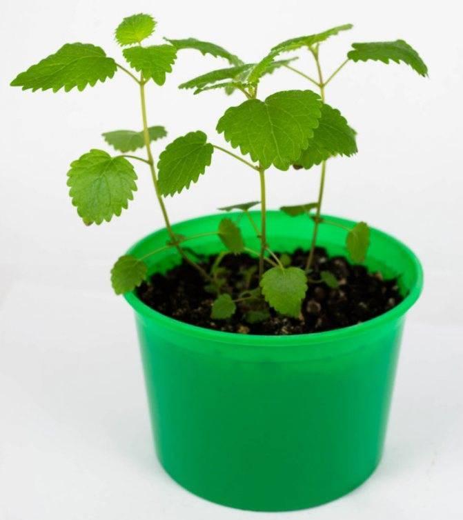 Важные особенности в разведении шпината: с чем рядом посадить, а какие культуры ему навредят?