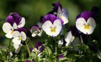 Выращивание виолы – любимого цветка Жозефины