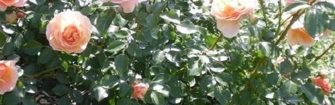 Когда возникает необходимость пересадить комнатную розу и как это правильно сделать?