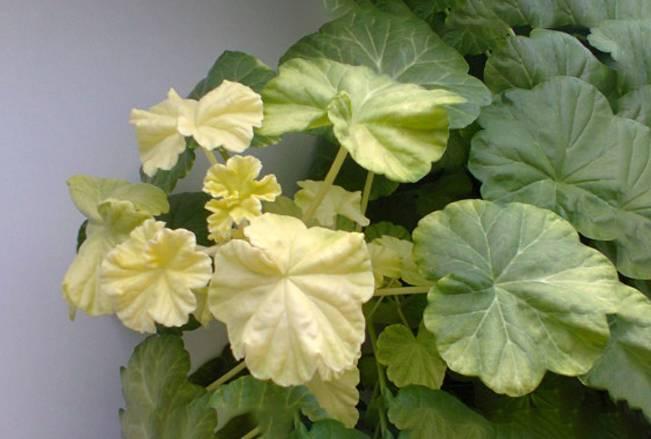 У герани белеют листья? почему это происходит и что нужно делать?