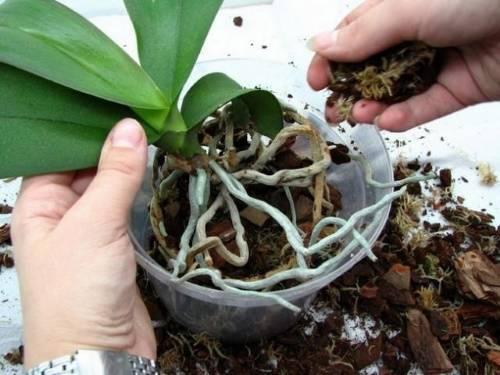 Есть ли возможность реанимировать орхидею, если сгнили корни?