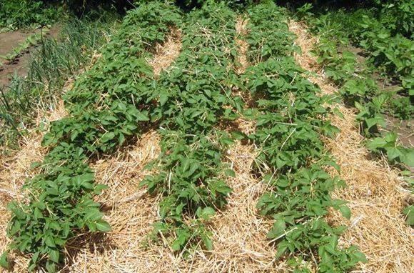 Как вырастить картофель под соломой или сеном: технология выращивания