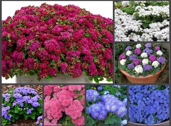 Цветы агератум однолетники и многолетники