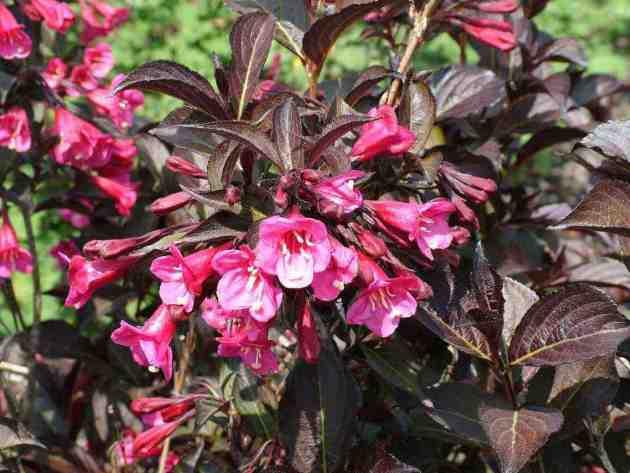 Вейгела — виды и выращивание
