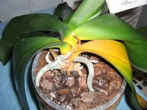 Почему у орхидеи фаленопсис вянут листья, цветы и бутоны, и что нужно делать, чтобы спасти растение?