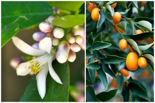 Что такое кумкват — характеристика этого фрукта
