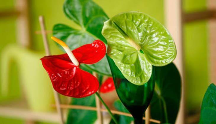 Как справиться с пятнами на листьях антуриума