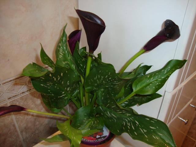 Каллы - проблемы выращивания, сохнут и желтеют листья