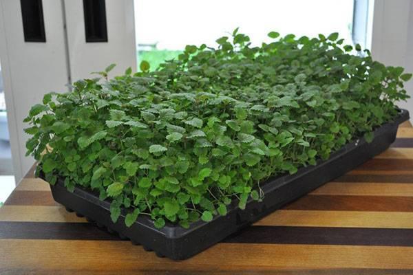 Выращивание меллисы - посев семян, уход за рассадой, видео