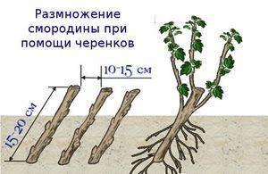 Размножение черной смородины черенками, как проводить осенью