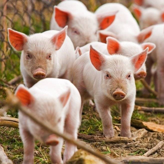 Свиноводство как бизнес: бизнес-план и рентабельность свиноводческой фермы