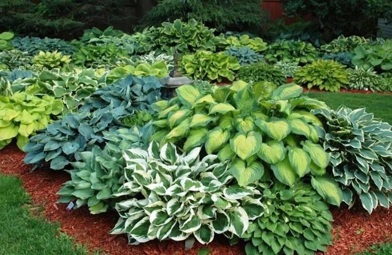 Многолетнее растение хоста: описание видов, посадка и уход