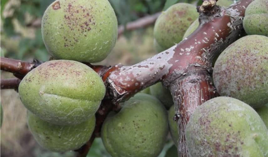 Чем обработать абрикос от тли летом. как избавиться от тли на абрикосах? абрикос: защита от вредителей