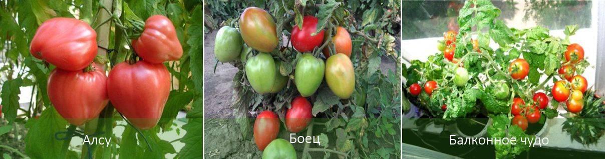 Лучшие соседи для томатов