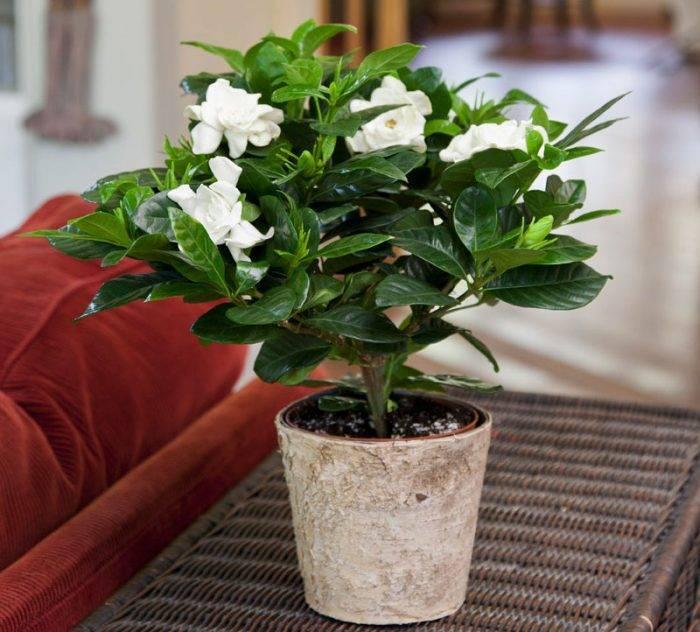 Гардения (gardenia): как вырастить в домашних условиях