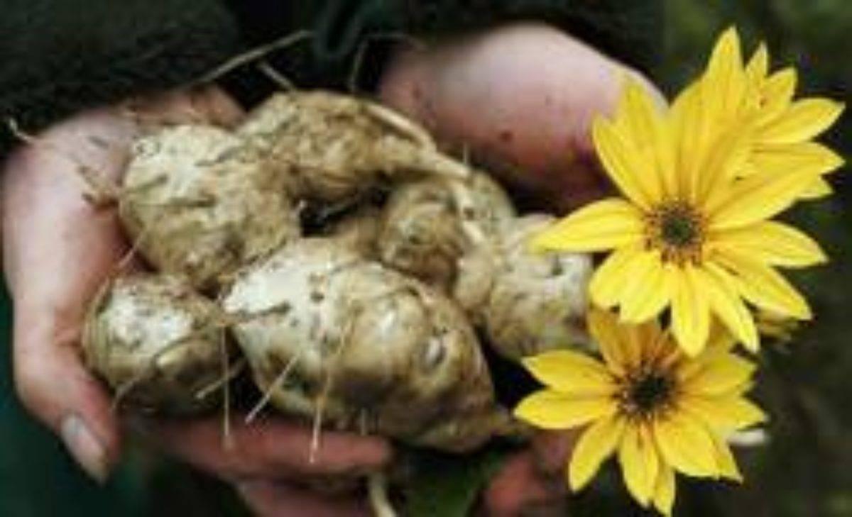 Секреты земляной груши: правильная посадка топинамбура весной и осенью