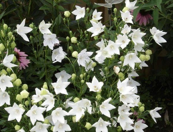 Выращивание платикодона из семян в домашних условиях