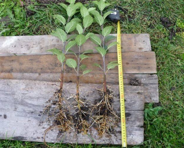Совместимость плодовых деревьев и кустарников в саду ( таблица)