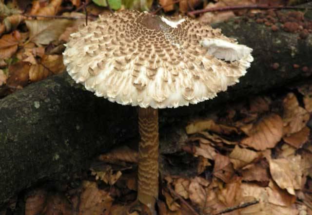 Зонтик пестрый — что за гриб и где собирать?