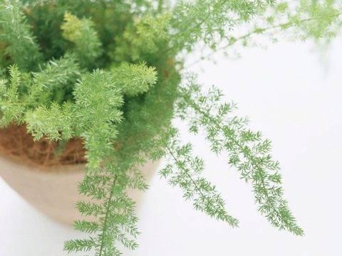 Узнайте как вырастить аспарагус из семян в домашних условиях и в открытом грунте