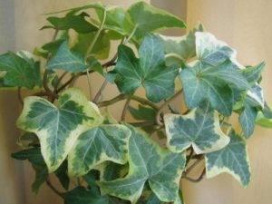 Плющ — домашние лианы