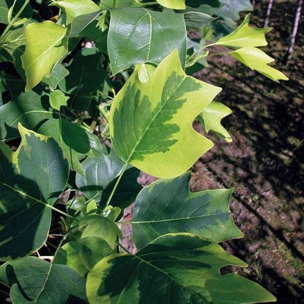 Лириодендрон тюльпановый – экзотическое дерево с крупными четырехлопастными листьями