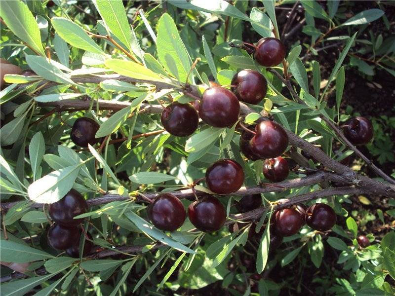 Описание сортов кустарниковой вишни, посадка и уход, правила выращивания