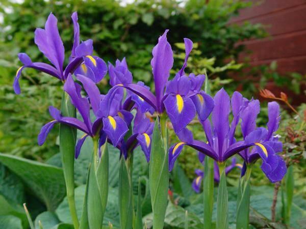 Чем подкормить ирисы осенью и весной, особенности ухода: посадка, полив, подготовка к зиме