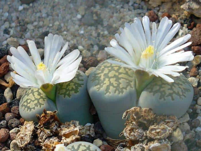 Литопсы, или «живые камни»: особенности ухода