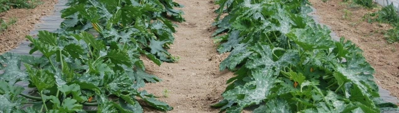 Особенности выращивания кабачков в открытом грунте